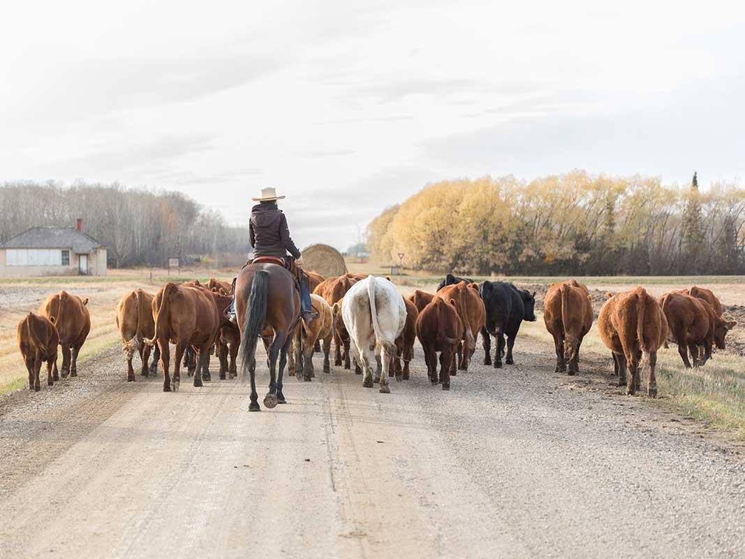 Viehtrieb in Kanada
